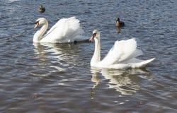 Bain blanc de cygnes Photos libres de droits
