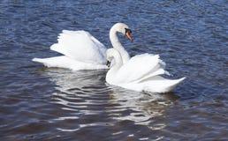 Bain blanc de cygnes Images stock