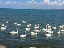 bain blanc de cygnes par la mer images stock