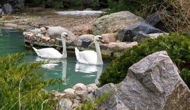 Bain blanc de deux cygnes dans l'étang Photo libre de droits