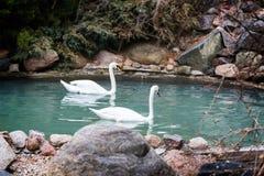 Bain blanc de deux cygnes dans l'étang Image stock