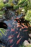 Bain coloré de carpes de koi Photos libres de droits