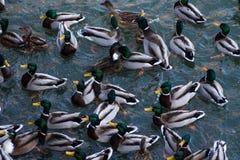 Bain d'oiseaux de canard dans le lac images libres de droits
