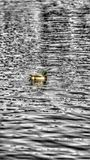 Bain de canard photographie stock