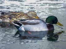 Bain de canards dans l'étang Photo stock