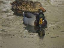 Bain de canards dans l'étang Photographie stock libre de droits