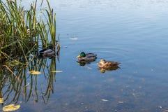 Bain de canards dans la ville de rivière Photo libre de droits