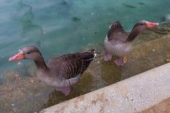 Bain de canards dans un étang de ville Image stock