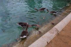 Bain de canards dans un étang de ville Images stock