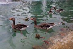Bain de canards dans un étang de ville Photographie stock