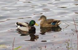 Bain de canards dans un lac Images libres de droits