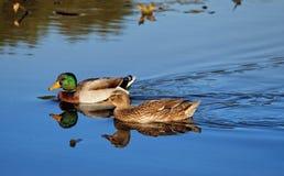Bain de canards sauvages dans l'eau bleue image stock