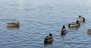 Bain de canards sur le lac clips vidéos