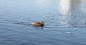 Bain de canards sur le lac banque de vidéos
