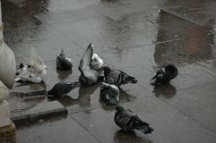 Bain de colombes dans le magma Image stock