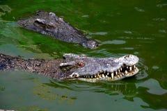 Bain de crocodile dans l'étang Images stock