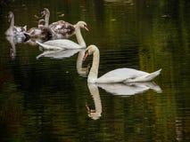 Bain de cygnes dans l'étang Image libre de droits