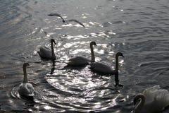 Bain de cygnes dans l'eau Photographie stock