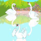 Bain de cygnes dans le lac. Image libre de droits