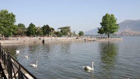 Bain de cygnes dans le lac Ioannina banque de vidéos
