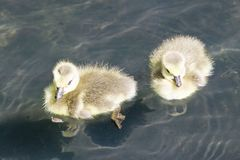 Bain de deux canetons dans l'étang, Washington D C dans le printemps dans l'arborétum national Images stock