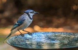 Bain 3 de geai bleu photo stock