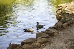Bain de mouettes à un lac artificiel Photo stock
