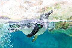 Bain de pingouins dans l'aquarium de Genoa Italy photographie stock