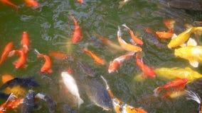 Bain de poisson rouge dans l'étang banque de vidéos