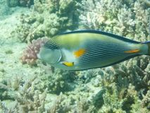Bain de poissons au-dessus du récif coralien, le monde sous-marin de la Mer Rouge photo stock