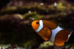 Bain de poissons de clown au-dessus du fond Photo libre de droits