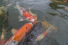 Bain de poissons de Koi autour Photos stock