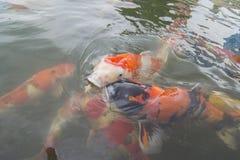 Bain de poissons de Koi autour du lac Photo libre de droits