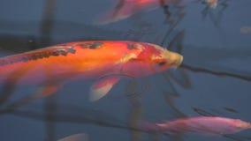Bain de poissons de Koi lentement et paisible dans le bel étang Mouvement lent banque de vidéos