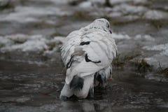 Bain de prise de pigeon image stock