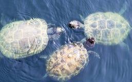 Bain de tortues dans l'étang Photographie stock