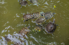 Bain de tortues de mer dans le parc aquatique Photos stock