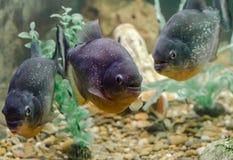 Bain de trois poissons de piranha dans la fin de l'eau  photographie stock