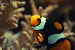 Bain en gros plan de clownfish d'Ocellaris entre la fleur d'anémone sous l'océan profond, anémone colorée magnifique d'écosystème image libre de droits