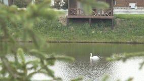 Bain noir et blanc de cygnes sur le lac banque de vidéos