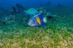 Bain stupéfiant de poissons en Mer Rouge photographie stock libre de droits