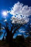 Baines baobab od Nxai niecki parka narodowego - Botswana Zdjęcia Stock