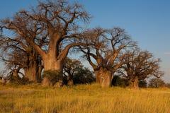 Baines baobab od Nxai niecki parka narodowego - Botswana Zdjęcie Royalty Free