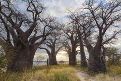 Baines Baobab`s at sunset Stock Photography