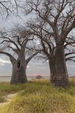 Baines Baobab Trees at sunset Stock Photography