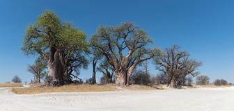 Bainesbaobab van Nxai Pan National Park, Botswana royalty-vrije stock afbeeldingen