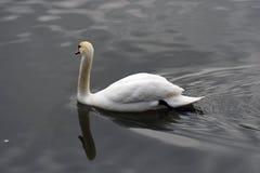 Bains blancs de cygnes sur un étang image stock