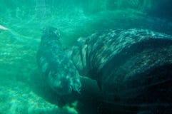 Bains de bébé d'hippopotame images libres de droits