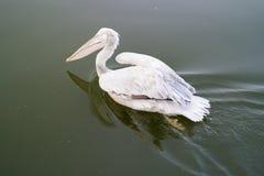 Bains de pélican blanc par la surface comme un miroir du lac image stock