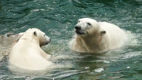 Bains et piqués d'ours blancs banque de vidéos